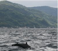 Dolphins jumping in Balayan Bay - a fairly common sight although they compete with the local fishermen for the same declining schools of yellowfin and gulyasan.