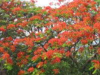 Fire tree in Barangay Solo in Anilao.