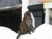 Makak monkey in Puerto Galera.