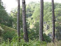 Pine trees in Sagada.