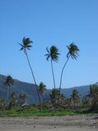 Palms at Baler beach.